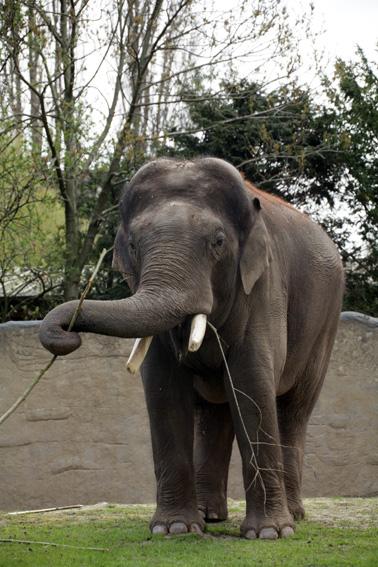 Elefant Gajendra